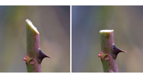 Incorrect-correct-rose-cuts