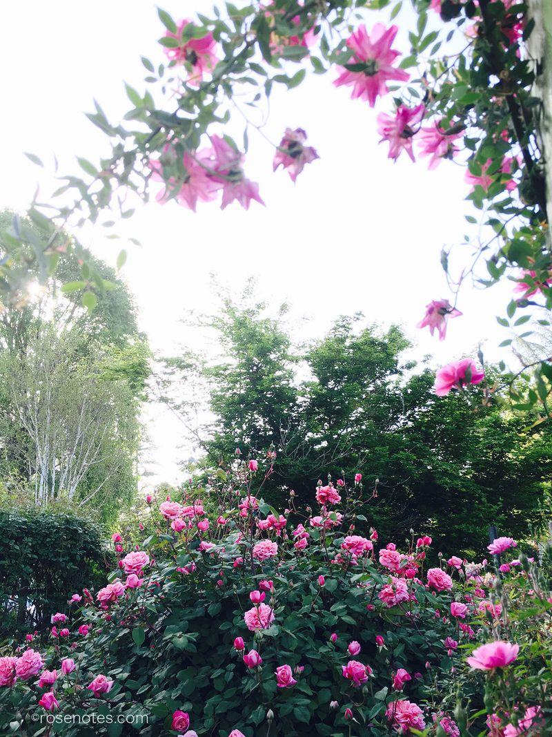 Rouletii-&-M-Tillier-Roses