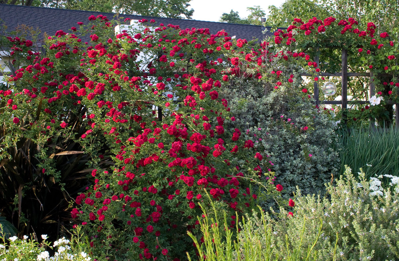 Red_rose_climber