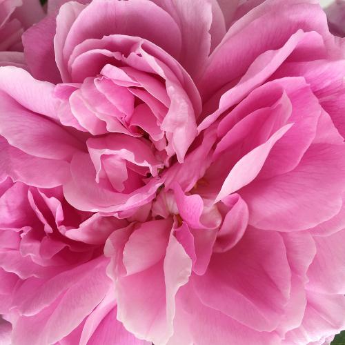 Close_up_pink_rose