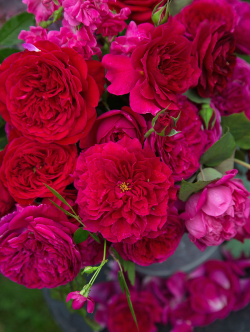 Falstaff_red_rose