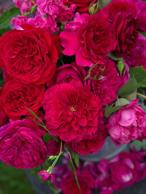 Falstaff_red_rose