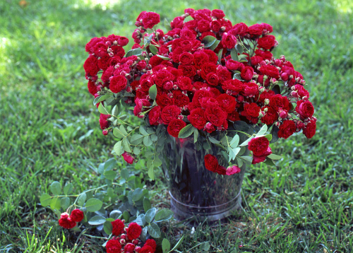 Red_roses_in_bucket