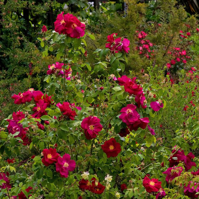 Red_roses_garden