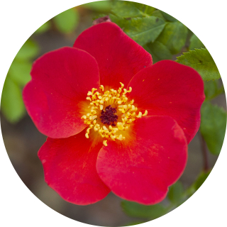Rosa foetida bicolor portrait