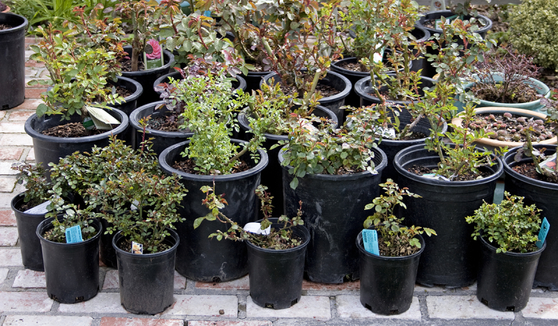 Potted nursery rosebushes