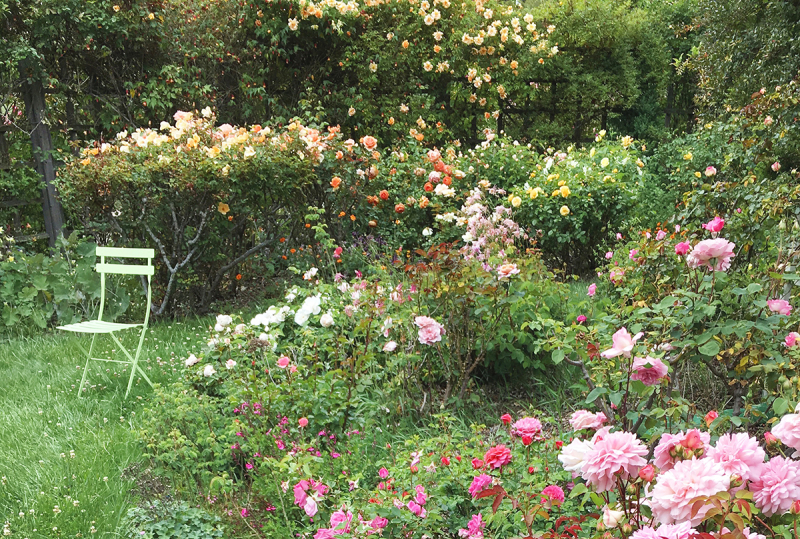 Front garden facing peach roses