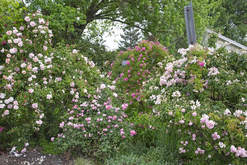 Shrub roses in Carolyn Parker's GardenUntitled-1