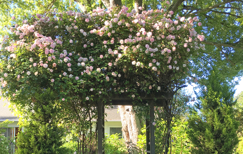 Cecile Brunner on an Arbor