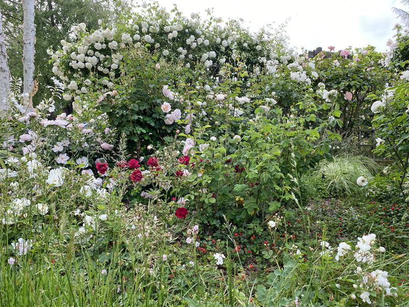 Lamarque in Carolyn Parker garden